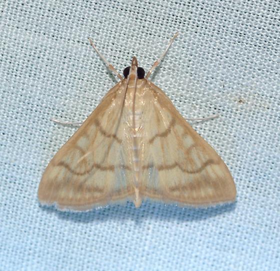 moth - Hahncappsia mancalis