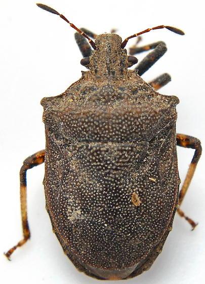 W8-01 - Amaurochrous cinctipes - female