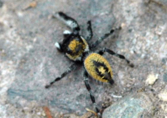 Asymetrical Six-Legged Spider - Phidippus californicus - male