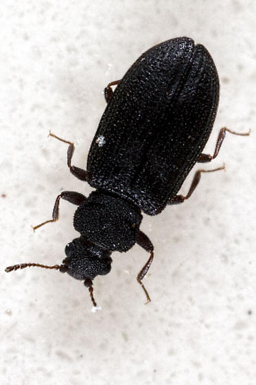 Beetle Bug In The Bathroom Enicmus Aterrimus Bugguide Net