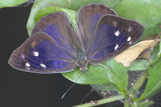 Dingy Purplewing adult - Eunica monima - female
