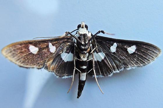 Grape Leafroller - Desmia maculalis - male