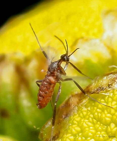 Diptera. - Ozirhincus millefolii - male