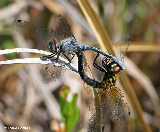 Small sex - Nannothemis bella - male - female