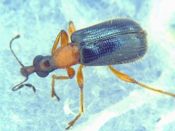 Big-eyed weevil - Eugnamptus angustatus