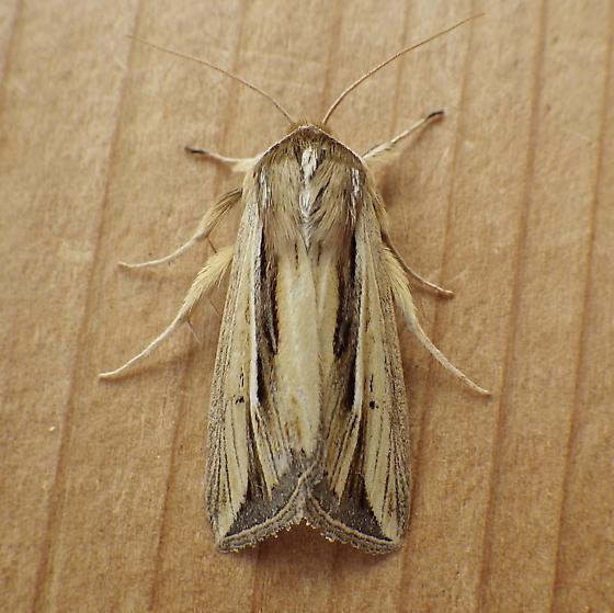 Noctuidae: Dargida diffusa - Dargida diffusa