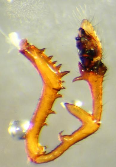 Erigone dentosa--voucher image - Erigone dentosa - male