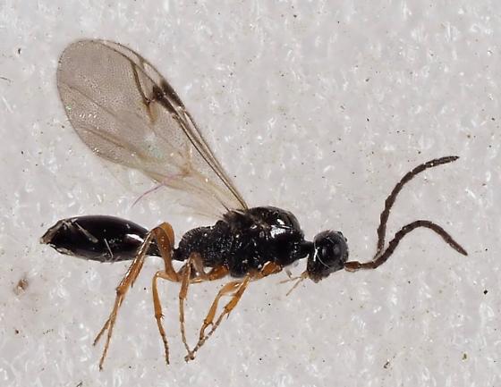 Hymenopteran - Disogmus - male