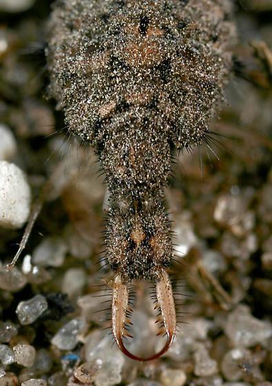 Antlion in pitfall trap - Myrmeleon