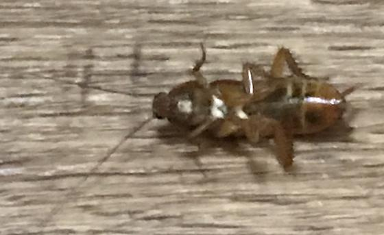 Mystery North Carolina Roach Nymph - Periplaneta fuliginosa