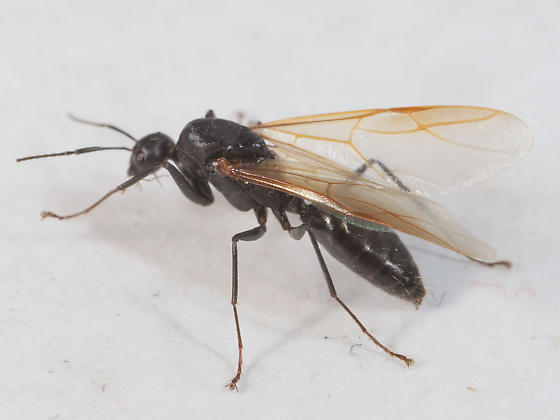 Ant with Wings - Camponotus