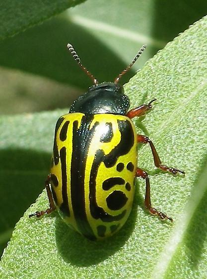 Unknown Beetle - Calligrapha serpentina