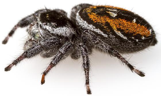 Female, Phidippus carneus (montivagus form)? - Phidippus - female