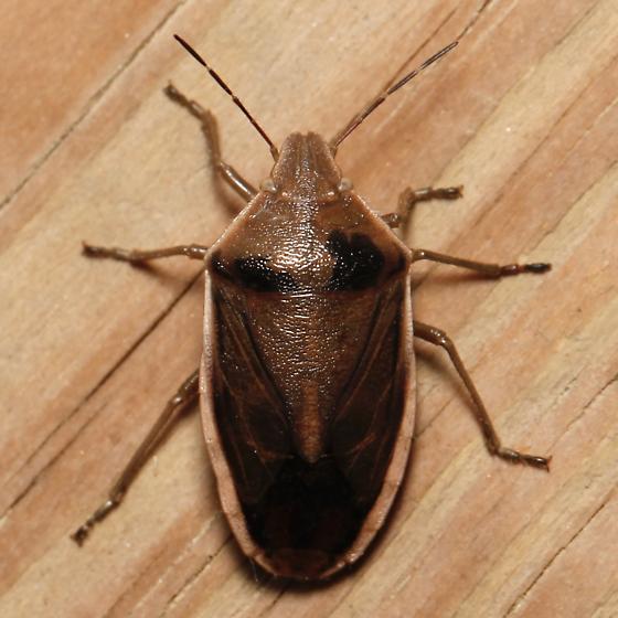 Pentatomid - Chlorochroa senilis