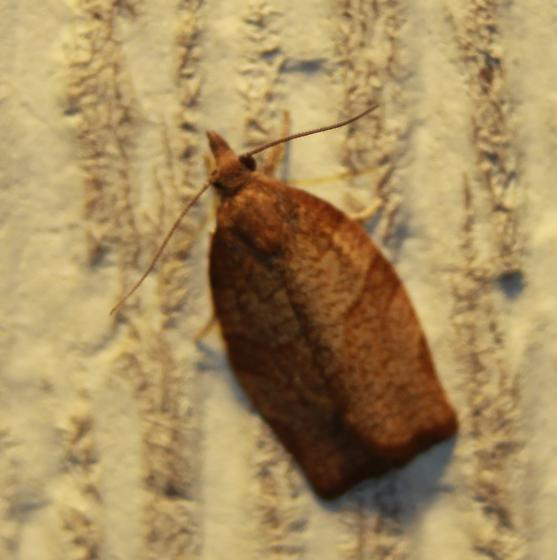 Moth ID - Pandemis heparana