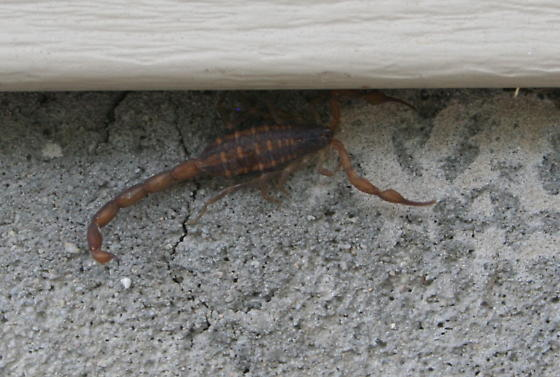 Scorpion? - Centruroides hentzi