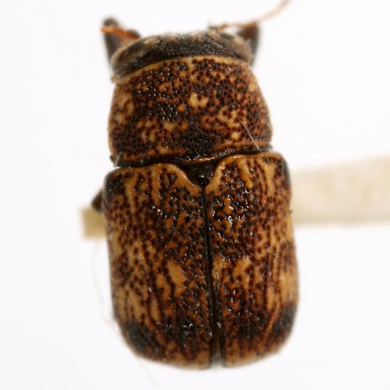 Pachybrachis delumbis Fall - Pachybrachis delumbis