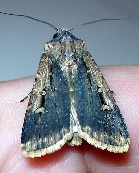pretty little moth - Feltia subterranea
