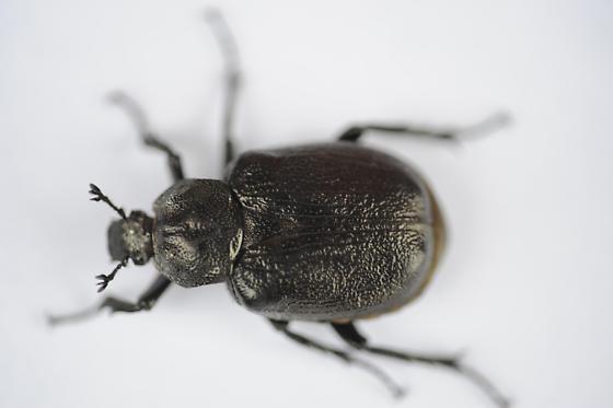 Big, black beetle? - Osmoderma scabra
