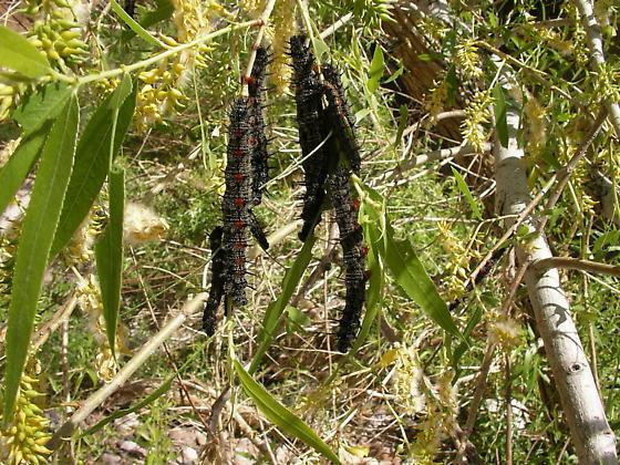 Hanging Caterpillars in Lower Fish Creek - Nymphalis antiopa