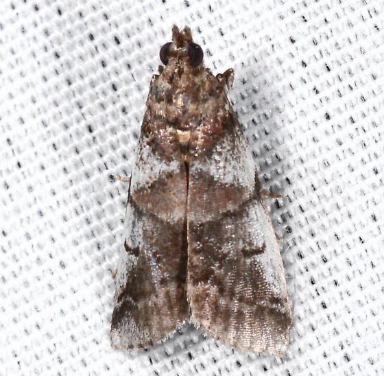 Pyralid id? - Acrobasis indigenella