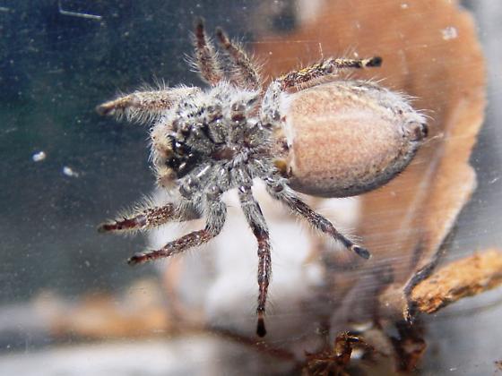 Sweet Jumper - Phidippus mystaceus - female