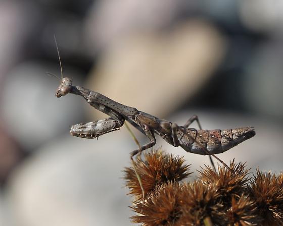Praying Mantis - Stagmomantis carolina