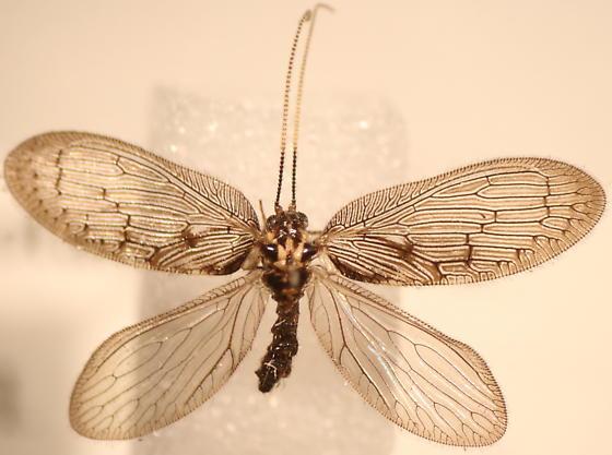 Trichoptera? - Sympherobius occidentalis