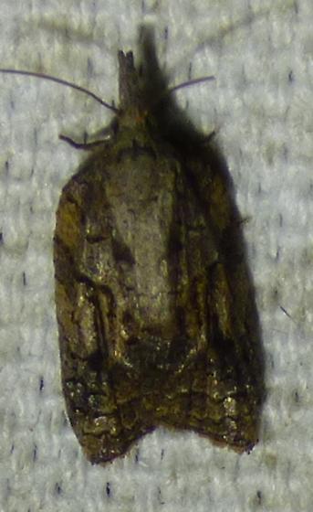 Platynota idaeusalis - Tufted Apple Bud Moth - Platynota idaeusalis