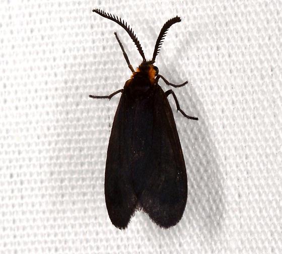 Acoloithus - Acoloithus falsarius