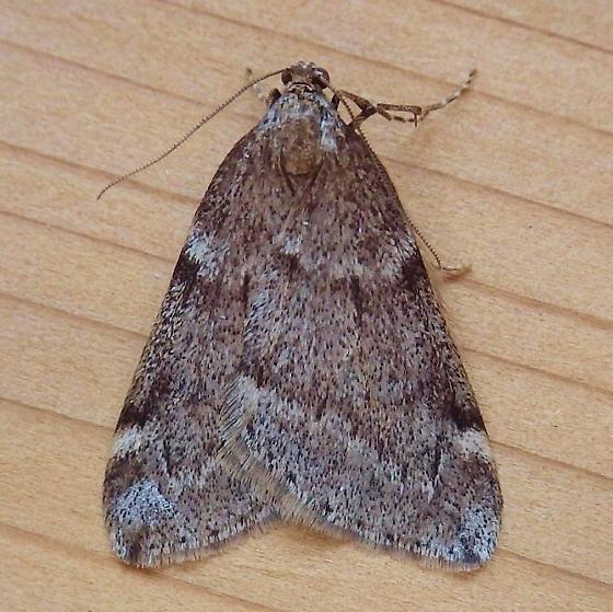 Geometridae: Alsophila pometaria - Alsophila pometaria - male