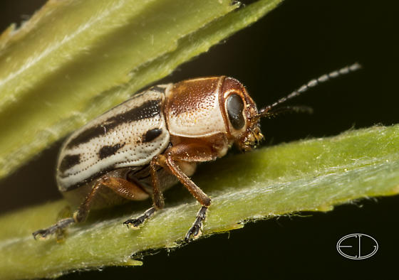 Tubby striped beetle - Pachybrachis bivittatus