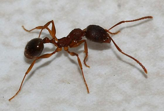unidentified small ant - Aphaenogaster
