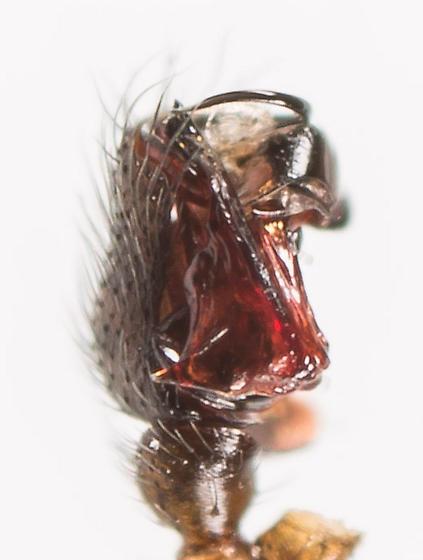 Bathyphantes pallidus - male