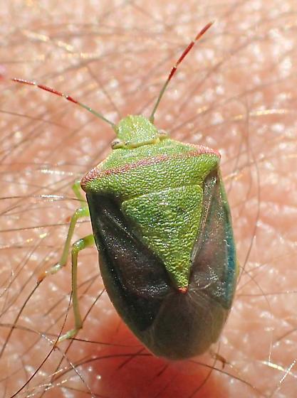 Thyanta  - Thyanta pallidovirens