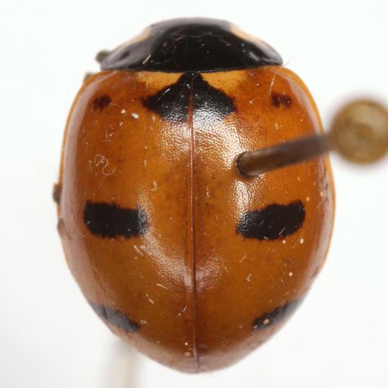 Coccinella transversoguttata Mulsant - Coccinella transversoguttata