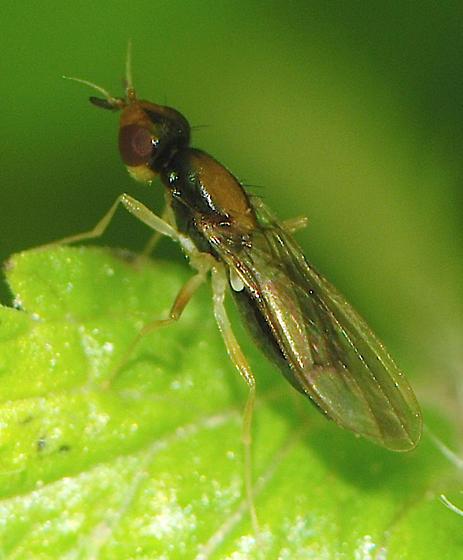 fly - Psila collaris