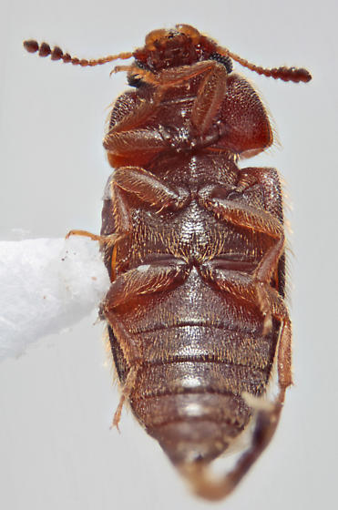 Mycetophagidae - Typhaea stercorea
