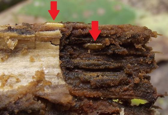 Stem borer, Angelica - Melanagromyza