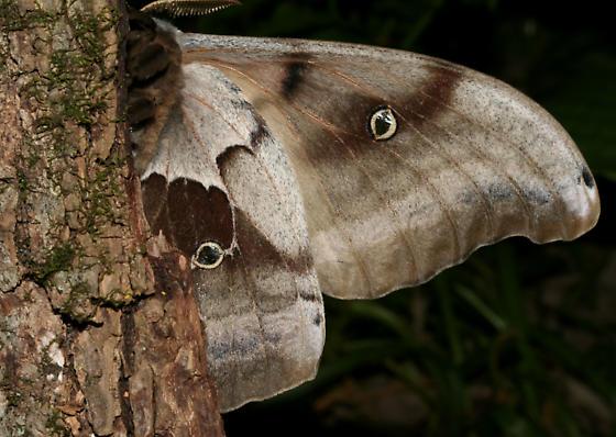 Polyphemus, underside - Antheraea polyphemus - male