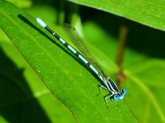 Seepage dancer ( Argia bipunctulata ) - Argia bipunctulata - male