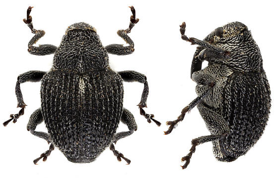unknown weevil - Homorosoma sulcipenne