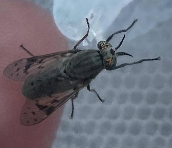 Silvius - Silvius quadrivittatus - female