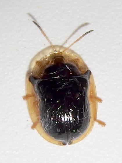 Deloyala lecontii