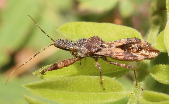 Assassin Bug - Sinea