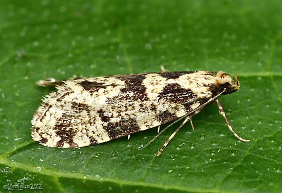 moth - Morophagoides burkerella