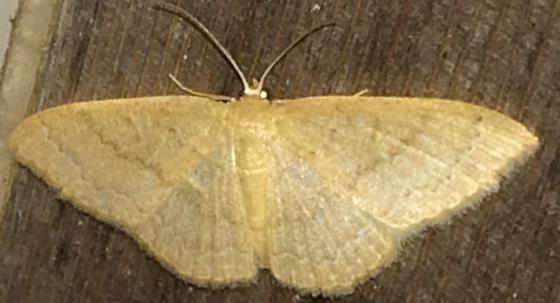 Pleuroprucha insulsaria - female