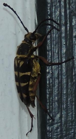 Black & Gold Striped Beetle - Typocerus zebra