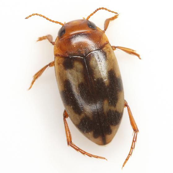 Heterosternuta diversicornis (Sharp) - Heterosternuta diversicornis - male