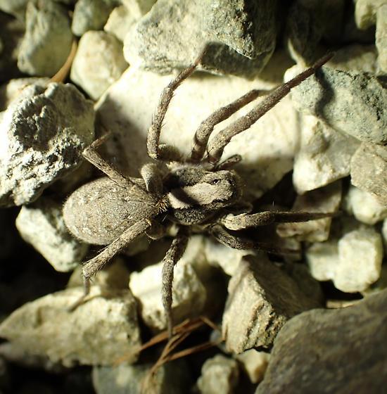 Lycosidae - Alopecosa kochi
